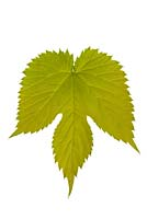 Humulus lupulus 'Golden Tassels' leaf on white background