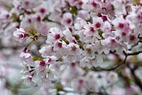 Prunus 'Kojo No Mai'