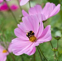Cosmos bipinnatus Sonata Series, a herbaceous plant with white, pink or red flowers from June. Nectar rich, loved by bees.