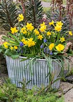 A metal tub planted in winter with  Narcissus 'Tete a Tete', Muscari  armeniacum 'Artist', primula and variegated periwinkle.