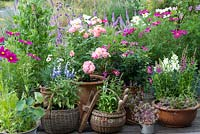 Patio roses 'Pink Tiara' and 'Violet Cloud' thrive in pots amongst cosmos, salvia, pinks, lythrum and snapdragons. Behind, veil of purple Verbena bonariensis and veronicastrum.