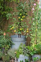 On raised deck, old galvanised dustbin planted with Coronet miniature apple tree. 'James Grieve' apple with 'Elstar'.