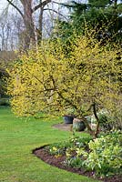Cornus mas, the Cornelian cherry, a deciduous shrub or small tree which produces bright yellow flowers in winter.