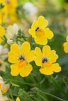 Nemesia 'Little Banana' Sunsatia Plus series