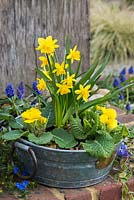 Narcissus Tete-a-Tete with primroses in a metal container.
