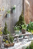 Picea glauca 'Conica', Galanthus nivalis, Helleborus niger and Eranthis hyemalis in Winter container display