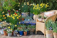 A colourful spring container garden with daffodils, tulips, grape hyacinths and violas surrounding a garden chair.