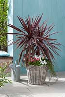 Cordyline australis 'Red Star' with Bellis, Viola cornuta and Hedera