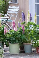Containers with flowering lupins on patio, summer