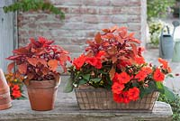 Red display with Coleus 'Spitfire' and Impatiens Neu-Guinea LaTina 'Orange'