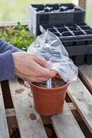Cover the pot of newly planted Rhodochiton seeds with a polythene bag to retain heat and moisture