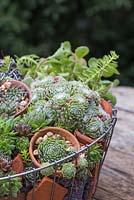 Detail of Succulents and terracotta pots in the hanging basket