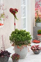 Pinus mugo mughus decorated with rosehips and hedera, Heuchera and Gaultheria procumbens in pots