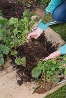 Carefully break apart the Geum clump into two halves protecting the root integrity