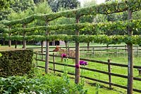 Pleached Lime
