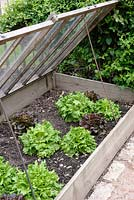 Cold frame with Lettuce 'Reine des Glaces' and 'Navara'