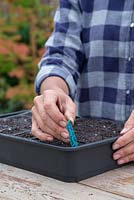 Adding plant label for Myosotis 'Victoria Azure Blue' Victoria Series