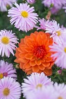 Dahlia 'Ariko Zsaza' with Aster novi-belgii 'Fellowship'