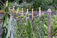 Bay, Curry Plant, Marjoram, Chive, Thyme and Rosemary herbs hanging up to dry