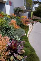 A raised sandstone retaining wall features colourful mixed plantings of succulents and bromeliads, including an alcantarea. Euphorbia tirucalli 'Firesticks' and Oscularia deltoides also seen. Casuarina glauca 'Cousin It' trails over the edge