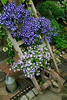 Two summer trailing bedding plants displayed on the crosspieces of a flat topped wheelbarrow leaning against the oak post of an open barn. Lobelia 'Waterfall Blue Ice' and Scopia 'Gulliver Blue'.