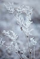 Filipendula ulmaria - Meadowsweet in winter frost.