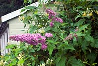 Buddleja davidii 'Pink Perfection'