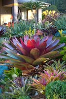 A raised garden featuring a large red leaved bromeliad, Alcantarea Imperialis rubra, surrounded by a selection of richly coloured and variegated smaller bromeliads