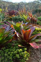 Raised garden bed with a colourful mixed planting of succulents  and bromeliads, featuring Alcantarea imperialis rubra, with maroon red leaves and in the foreground green fleshy leaves of Crassula ovata.