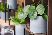 Pilea peperomioides in pale blue pot