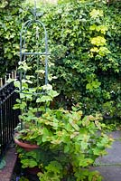 Runner beans growing on obelisk. Surrounding plants include Hypericum, Humulus lupulus 'Aureus' and Hedera helix cultivar on the wall behind.