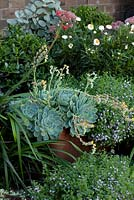 Detail of a corten steel edged raised garden with a dense planting of mixed perennials and succulents, featuring a flowering Echeveria secunda, Old Hens and Chicks, Blue Echeveria and Scaevola aemula