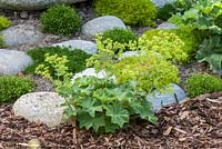 Alchemilla mollis - Lady's mantle and Sagina growing between pebbles