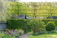 Garden in spring with tulips. Hawthorn hedge, Box topiary and pleached field maples.