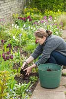 Lifting and dividing an Agapanthus in Spring. After planting mulch the soil surface with garden compost or similar