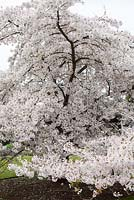 Prunus 'Hilling's Weeping', March