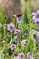 Scabiosa columbaria with a tortoiseshell butterfly.