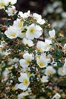 Rosa spinosissima 'Dunwich'