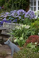 Agapanthus in a patio setting, featured plant is Agapanthus 'Megan's Mauve'