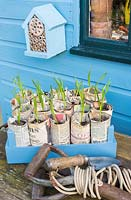 Young Garlic plants - 'Marco', growing in newspaper pots.