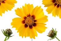 Coreopsis 'Sterntaler' - Tickseed . Composite picture of flowers and buds