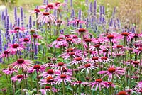 A detail of planting in the Floral Labyrinth at Trentham Gardens, Staffordshire, designed by Piet Oudolf. Photographed in summer it features Echinacea purpurea and Agastaches