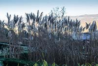 Miscanthus sinensis 'Malepartus' in Grasses Parterre. Veddw House Garden, Monmouthshire, Wales, UK. November. Garden designed and created by Anne Wareham and Charles Hawes