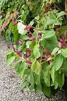 Phytolacca americana - Pokeweed with flowers and berries
