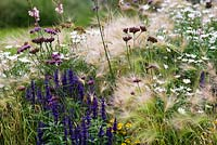 Hordeum jubatum - foxtail barley together with Salvia farinacea 'Victoria' and Verbena bonariensis. Late summer, Kew Gardens.
