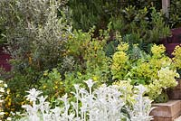 Olive tree, Easter Broom Genista x spachiana,  Euphorbia and Stachys byzantina in terraced beds