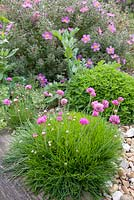 Armeria maritima - pink thrift and Cistus behind