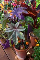 Ricinus Carmencita in terracotta pot with decorative glass watering globe. Patio garden. Owner: Pattie Barron, garden writer
