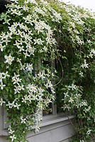 Clematis montana var. wilsonii, a vigorous climber with fragrant, white star shaped flowers in May