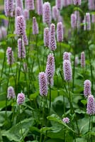 Persicaria bistorta 'Superba', bistort, a herbaceous perennial sending up pink flowers spikes above leafy mats. Flowering from June.
